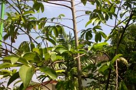 Pohon sirsakku